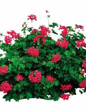 Pelargonija viseča VDP DARK RED