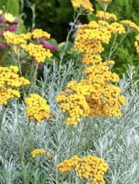 Smilj / Helichrysum italicum