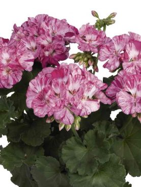 Pelargonija Zonale BLUE BATIQUE