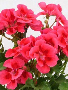 Pelargonija Sansone ROSE SPLASH