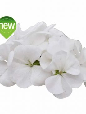 Pelargonija Sansone S WHITE
