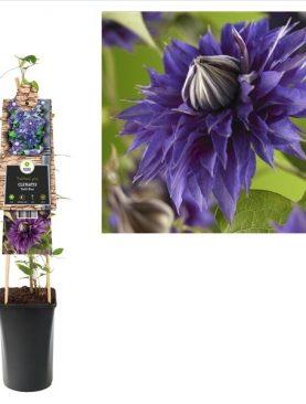 Vrtni srobot / Clematis pat. Multi Blue