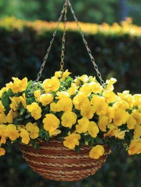 Mačeha viseča Yellow